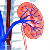 Kidney intersection Stock Images