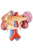 Kidney model Royalty Free Stock Photo