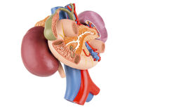 Kidney model with rear organs Royalty Free Stock Photography