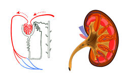The kidney and nephron Royalty Free Stock Image