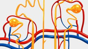Nephron. The kidney is not one large filter. Each kidney is made up of about a million filtering units called nephrons. Each nephron filters a small amount of Stock Photos
