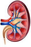 Kidney royalty free illustration