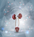 Kidney protection abstract design Royalty Free Stock Photos