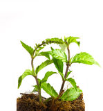 Kidney Tea Plant Stock Image