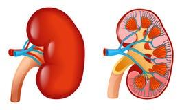 Kidney. Vector illustration of human kidney anatomy Stock Image