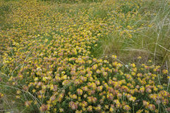Kidney Vetch Royalty Free Stock Photos