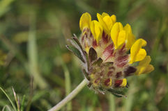 Kidney Vetch Royalty Free Stock Images