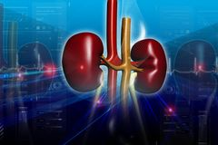 Kidneys Royalty Free Stock Images