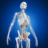 kidneys Imagem de Stock Royalty Free