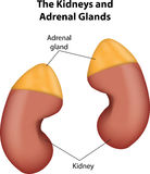 The Kidneys and Adrenal Glands Stock Images