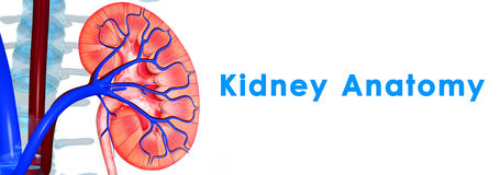 Kidneys anatomy Stock Images