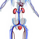 Kidneys Stock Photo