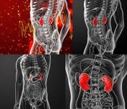 Kidneys Stock Photography