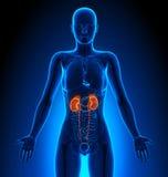 Kidneys - Female Organs - Human Anatomy Royalty Free Stock Images