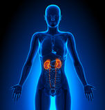 Kidneys - Female Organs - Human Anatomy. Female Anatomy Medical Imaging by @ decade3d Stock Images