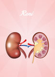 Kidneys Stock Photos