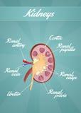 The kidneys. Illustration of the kidneys scheme Stock Images
