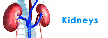 Kidneys. The kidneys are located in the abdominal cavity, more specifically in the paravertebral gutter and lie in a retroperitoneal position at a slightly Stock Images