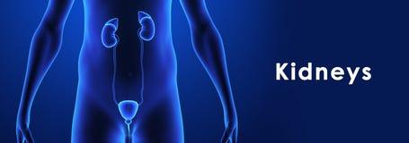 Kidneys Royalty Free Stock Photos