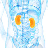 The kidneys Stock Image