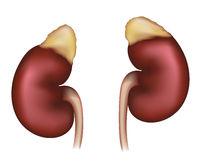Kidneys realistic medical illustration Royalty Free Stock Photography