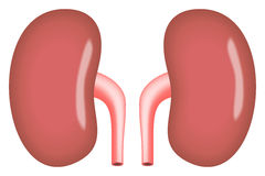 Kidneys simple vector illustration Royalty Free Stock Photo