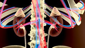 3D illustration of Urinary System Kidney organic - Part of Human Organic. The kidneys are two bean-shaped organs found on the left and right sides of the body Royalty Free Stock Photography