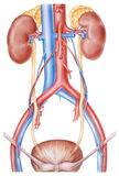 Kidneys and Ureters Stock Photos