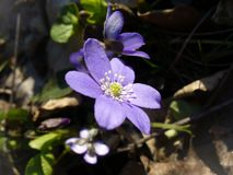 Kidneywort flower (Hepatica nobilis) Stock Images