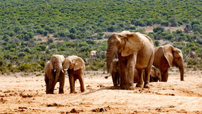 Kids. The Addo Elephant National Park is a diverse wildlife conservation park situated close to Port Elizabeth in South Africa royalty free stock image