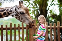 Kids feed giraffe at zoo. Children at safari park. Family feeding giraffe in zoo. Children feed giraffes in tropical safari park during summer vacation in stock image