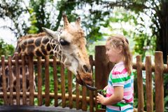 Kids feed giraffe at zoo. Children at safari park. Family feeding giraffe in zoo. Children feed giraffes in tropical safari park during summer vacation in royalty free stock images