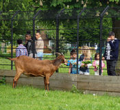Kids feeding a goat in a park Stock Images