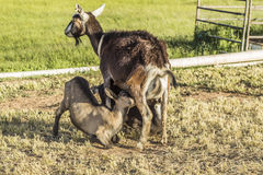 Kids getting feed by mom. Paonia, Colorado, USA Royalty Free Stock Photos