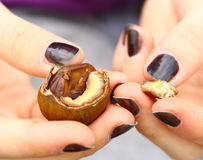 Kids hand with chestnut close up Royalty Free Stock Images