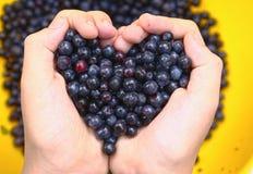 Kids hands holding tasty ripe bilberries, Royalty Free Stock Image