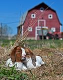 African Boer Goat Kids in the Hay. African Boer goat kids outside on a summer afternoon enjoying a nap royalty free stock images
