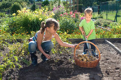 Kids Helps To Harvesting Royalty Free Stock Photo