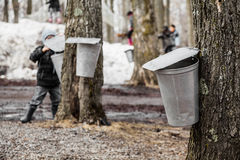 Kids lookin into the Maple Sap buckets Royalty Free Stock Images