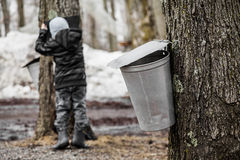 Kids lookin into the Maple Sap buckets Royalty Free Stock Photography