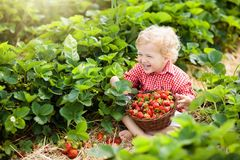 Kids pick strawberry on berry field in summer stock image