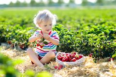 Kids pick strawberry on berry field in summer. Child picking strawberry on fruit farm field on sunny summer day. Kids pick fresh ripe organic strawberry in white royalty free stock photo