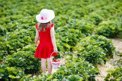 Kids pick strawberry on berry field in summer Stock Photo