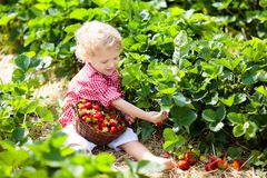 Kids pick strawberry on berry field in summer Stock Images