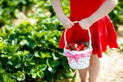 Kids pick strawberry on berry field in summer royalty free stock photos