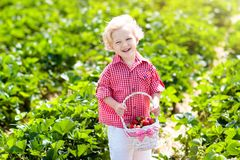 Kids pick strawberry on berry field in summer stock photography