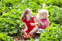 Kids pick strawberry on berry field in summer Royalty Free Stock Images