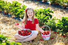 Free Kids Pick Strawberry On Berry Field In Summer Stock Photo - 118245400
