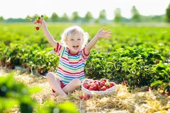 Free Kids Pick Strawberry On Berry Field In Summer Stock Photography - 118318942
