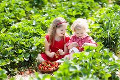 Free Kids Pick Strawberry On Berry Field In Summer Stock Photography - 119170992